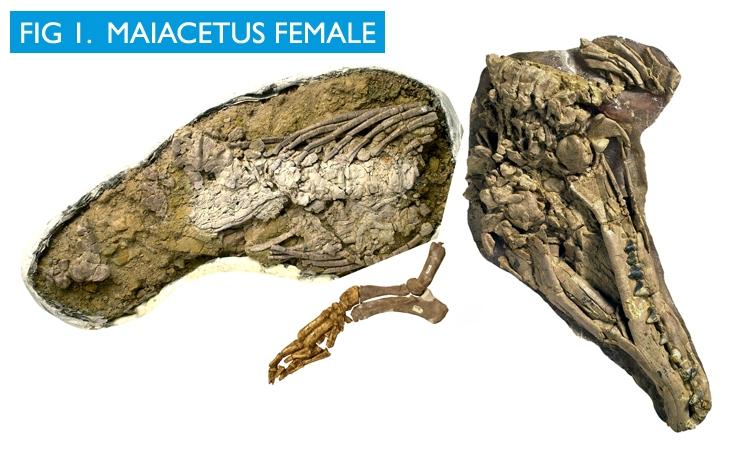 Maiacetus image 1