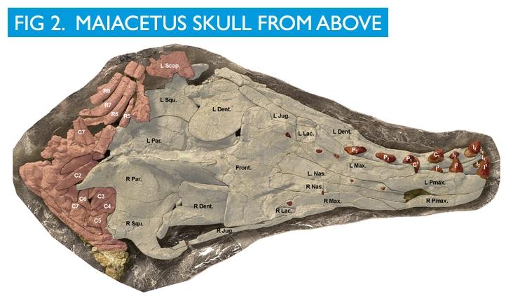 Maiacetus image 2