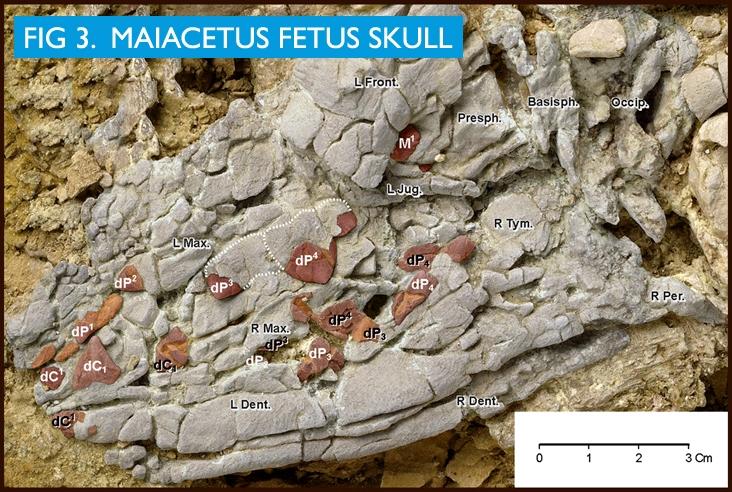 Maiacetus image 3