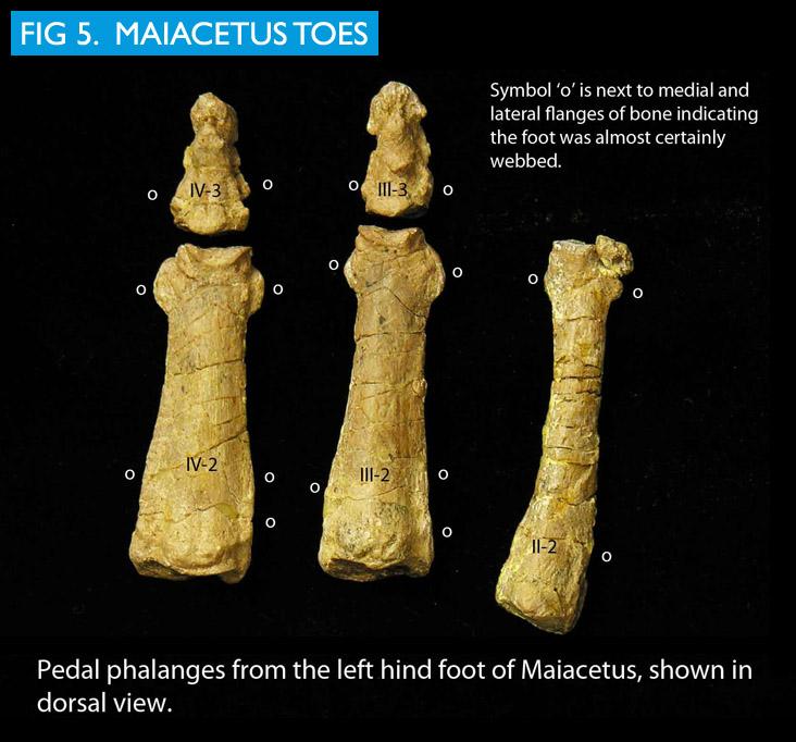 Maiacetus image 5