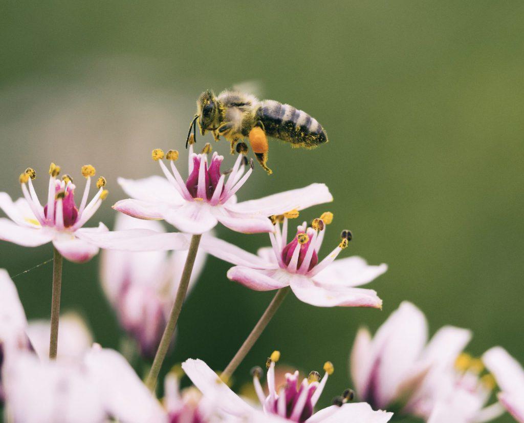 Honey bee - photo by Aaron Burden