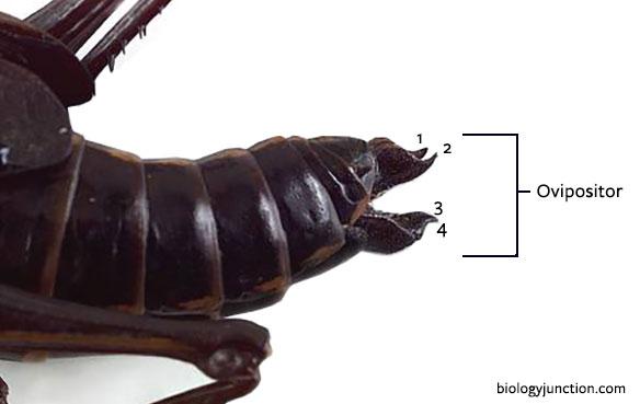 simple ovipositor