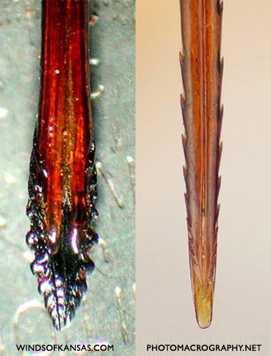 photo of stinger ovipositor